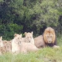 Sudafrica, leoni sbranano e uccidono bracconieri in una riserva protetta