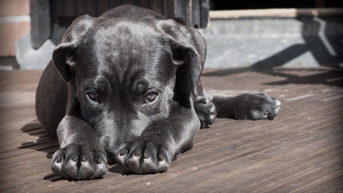 parassiti del cane rossi e bianchi