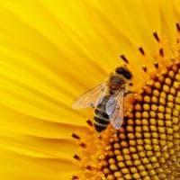 Effetto pesticidi: le api imparano e ricordano meno