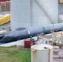 """Islanda sotto accusa: """"Ha ucciso una balenottera azzurra"""""""