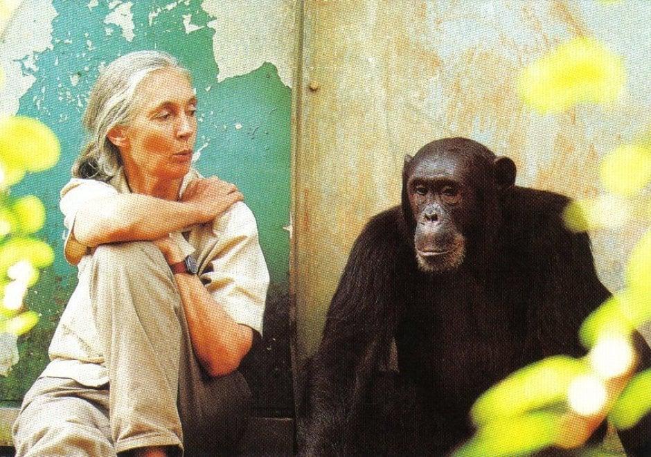 La giornata mondiale dello scimpanzé