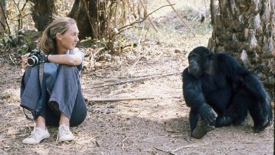 Auguri scimpanzé, oggi la prima giornata mondiale dedicata a loro