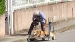 Il cane è troppo anziano: va a passeggio su un carrello