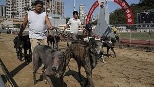 """Macao, chiude il """"cinodromodell'orrore"""": il governo adotta i 500 levrieri abbandonati"""
