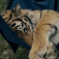 Saikhan, il cucciolo di tigre salvato dal bracconaggio