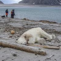 Orso polare ucciso sulle Svalbard. Aveva attaccato la scorta dei turisti