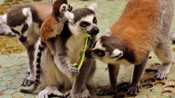 Aumentano le specie di lemuri a rischio estinzione