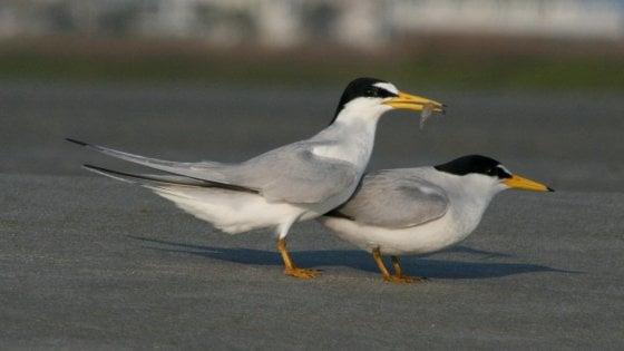 Una colonia di uccelli protetti distrutta in Alabama dai bagnanti