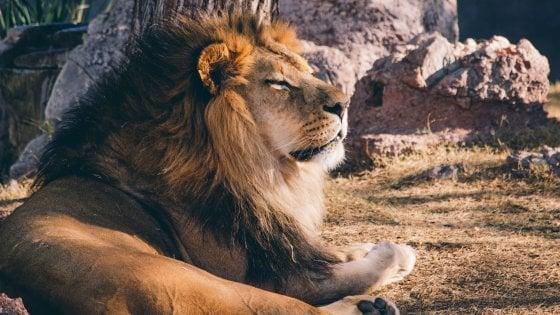"""Giornata mondiale del leone, il Wwf: ''Salviamo il re della foresta"""""""