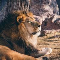 Giornata mondiale del leone, il Wwf: ''Salviamo il re della foresta