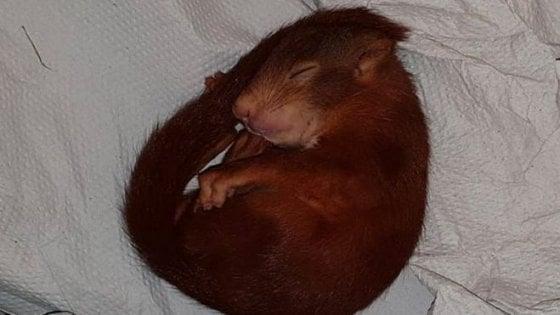 Germania, uomo inseguito da baby scoiattolo: polizia costretta a intervenire