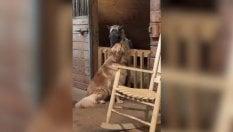 Immobile per ore per l'amico: così il cane conforta il pony salvato