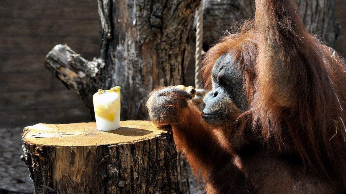 MINACCIATO dalla deforestazione selvaggia e dai bracconieri, l'orango è sempre