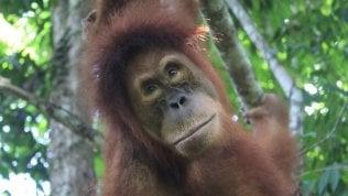 Una giornata mondiale per l'orango, specie a rischio per la deforestazione