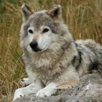 Anche in Olanda arrivano i lupi