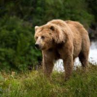 Sulmona, torna l'orsa Peppina: raid nel pollaio con i tre cuccioli