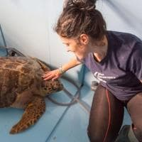 Quasi ucciso dalla plastica ora torna in mare: ecco Nazzareno, maxi tartaruga di 90 kg