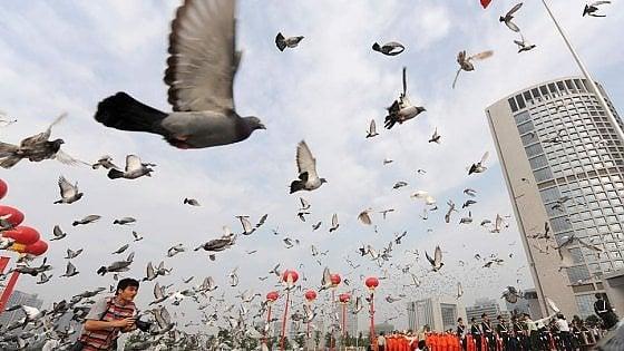 Pechino, la truffa del piccione viaggiatore in treno