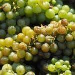 Il vino bianco si afferma nel mondo, Italia leader