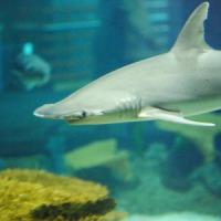 Allo squalo piacciono le alghe: individuata una specie onnivora