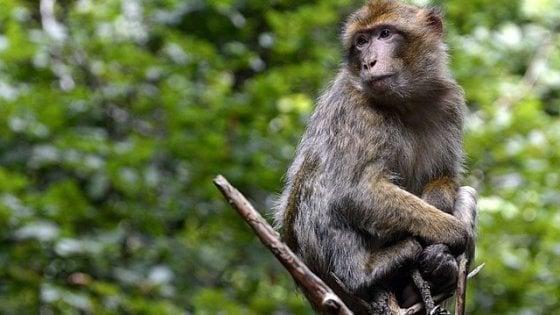 Un uomo contagiato dal vaiolo delle scimmie, prima volta in Europa