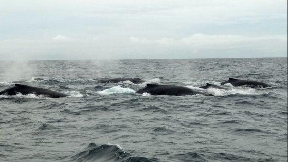 Le ong dicono no alla 'caccia sostenibile' alle balene