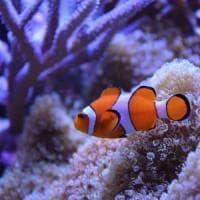 Mappato il genoma di Nemo: aiuterà a salvare la barriera corallina