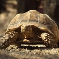 Centinaia di specie a rischio: così l'estinzione delle tartarughe comprometterà ...