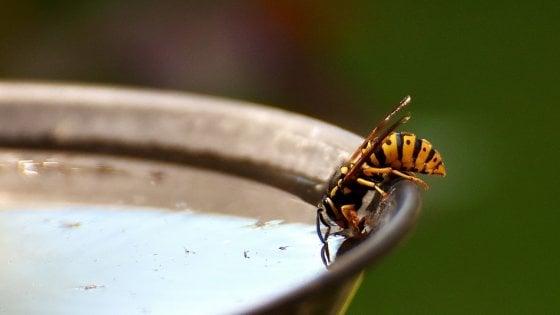 """Anche le vespe rischiano l'estinzione. """"Preziose come le api anche se considerate più pericolose"""""""