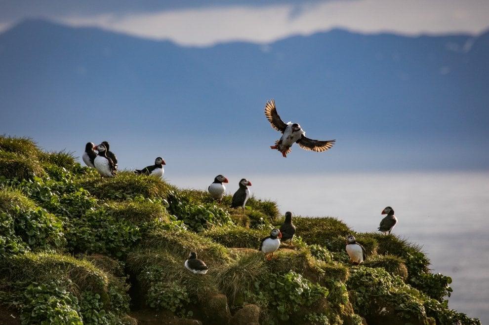 Islanda, il paradiso delle pulcinelle di mare