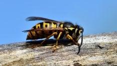 Anche le vespe rischiano l'estinzione. Preziose come le api anche se considerate più pericolose