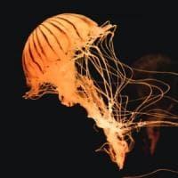 L'insolita medusa avvistata sulla spiaggia di Auckland