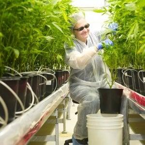 Paperoni grazie alla cannabis legale: ecco i tre nuovi miliardari
