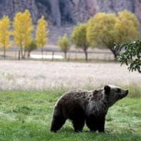 Usa, salvi gli orsi di Yellowstone: giudice boccia la decisione di Trump