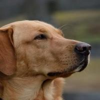 Tumore al polmone: il cane Blatt lo fiuta