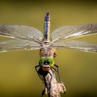 Le ali uniche delle libellule: merito della matematica