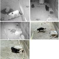 Gatti contro ratti? Crolla un mito: ormai non li attaccano più
