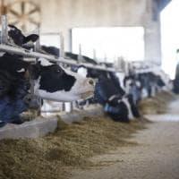 Alghe alle mucche per limitare il metano: nuovi esperimenti per salvare il Pianeta