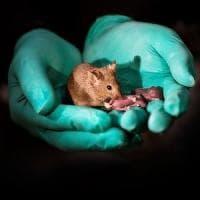 Genitori dello stesso sesso: nati i primi topolini sani