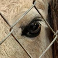 Basta animali allevati in gabbia: raccolta firme in tutta Europa, oltre