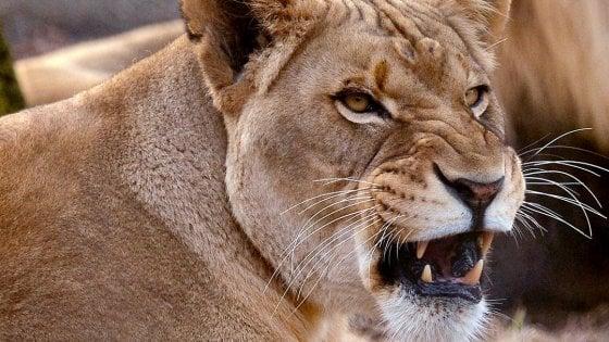 Usa: leonessa uccide leone, padre dei suoi tre cuccioli