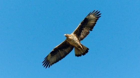Il volo di Lola, l'aquila di Bonelli dalla Sicilia alle Egadi