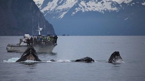 """Il traffico spegne il canto delle balene. """"A rischio i rituali di accoppiamento"""""""