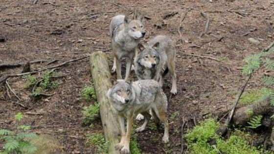 Svezia, sono pericolosi e a rischio di sconfinamento: il parco di Kolmarden uccide i lupi