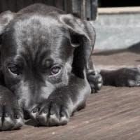 Cani e gatti, uno su 500 ha il diabete ma spesso il padrone non lo sa