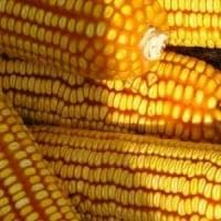 Clima, lo stess idrico e termico minacciano il mais