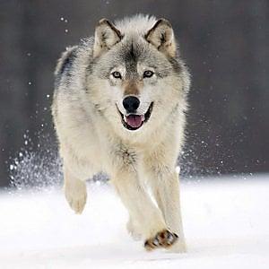 La Ue alza al 100% i rimborsi per gli assalti dei lupi al bestiame