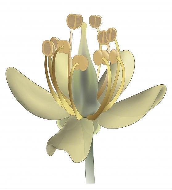 Il fiore di 99 milioni di anni: è ancora perfetto, incastonato nell'ambra