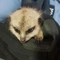 "Australia, baby meerkat rapito allo zoo: ""Era irresistibile"""