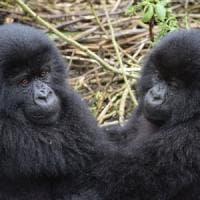 """""""I gorilla di montagna aumentano, la popolazione torna a crescere"""""""